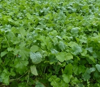 Winter Graze Forage Mixture