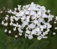 Yarrow (Achillea millefolium) Plant