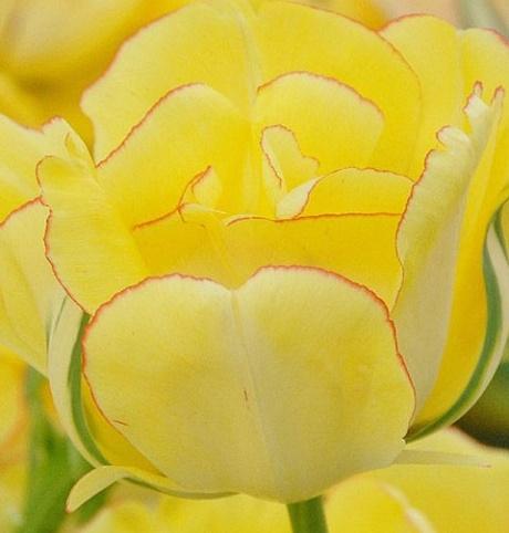 Akebono Tulip Bulbs