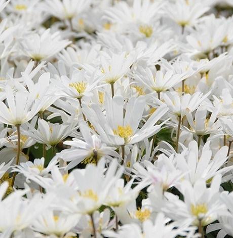 Blanda White Splendour Anemone Bulbs