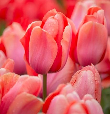Apricot Impression Tulip Bulbs