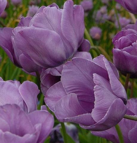 Bleu Aimable Tulip Bulbs