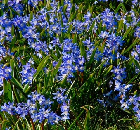 Chionodoxa Forbesii Blue Giant Bulbs