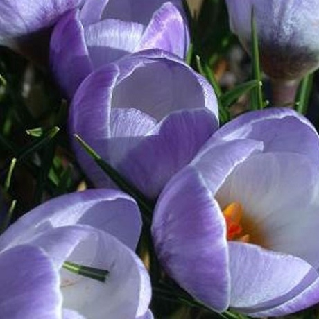 Blue Pearl Specie Crocus Bulbs