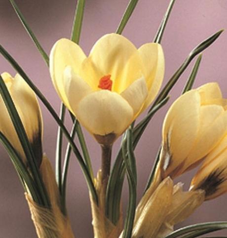 Cream Beauty Specie Crocus Bulbs