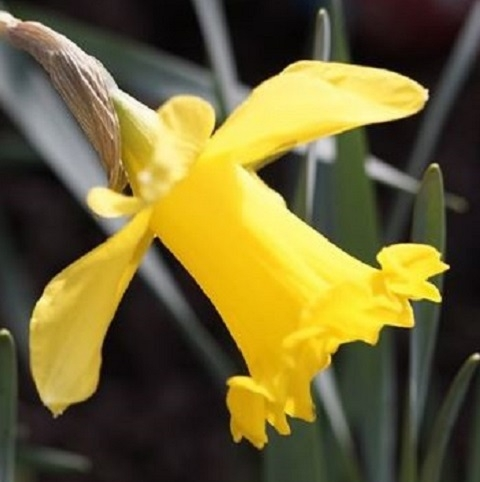 Golden Anniversary Daffodil Bulbs