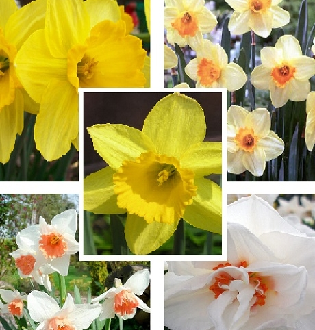 Daffodil Delight Value Bulb Collection