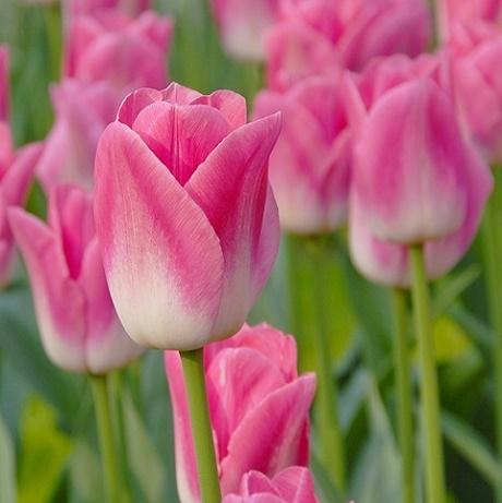 Dynasty Tulip Bulbs