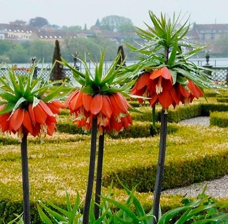 Rubra Maxima Imperialis Fritillaria Bulbs
