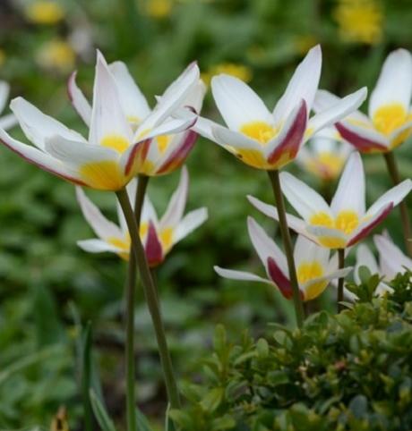 Ice Stick Tulip Bulbs