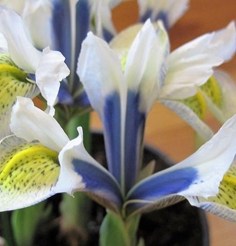 Sea Breeze Reticulata (Dwarf) Iris Bulbs