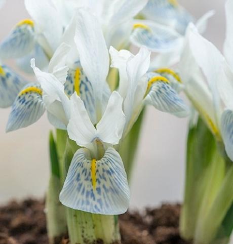 Polar Ice Reticulata (Dwarf) Iris Bulbs