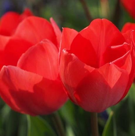 Kingsblood Tulip Bulbs
