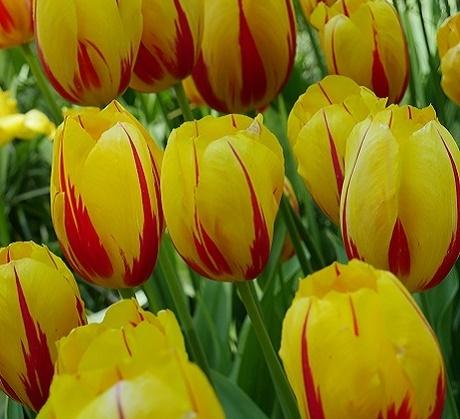 La Courtine Tulip Bulbs