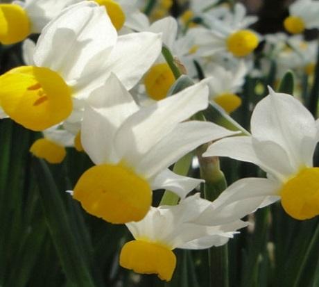 Canaliculatus Narcissi Bulbs