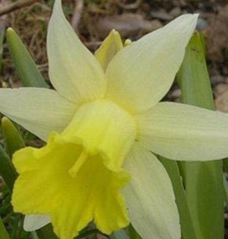 Topolino Narcissi Bulbs