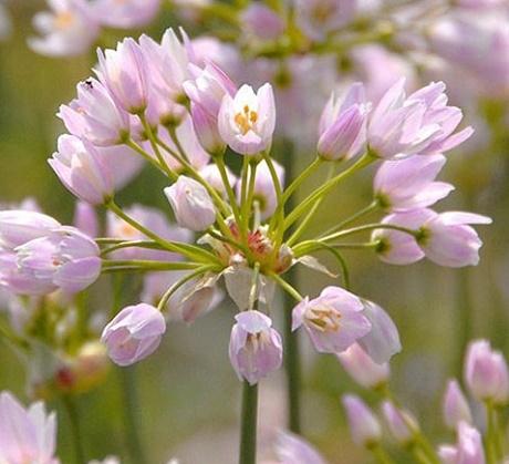 Roseum Allium Bulbs