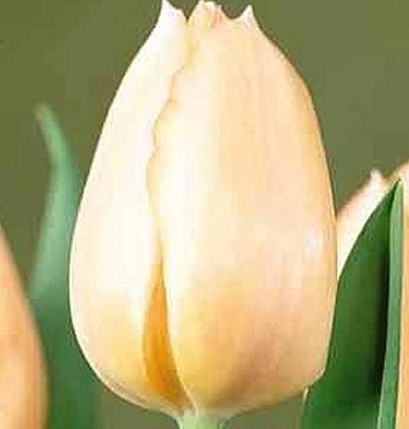 Apricot Beauty Tulip Bulbs