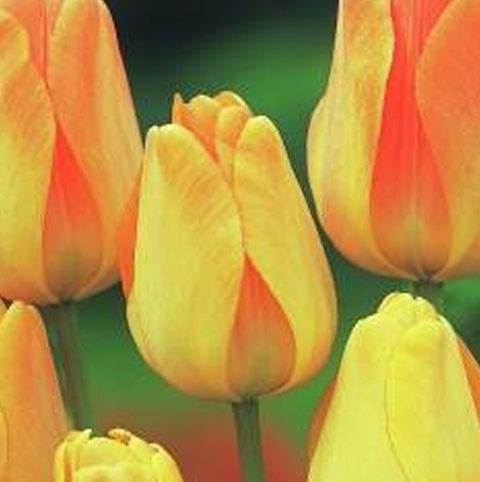 Daydream Tulip Bulbs - Bulk Buy