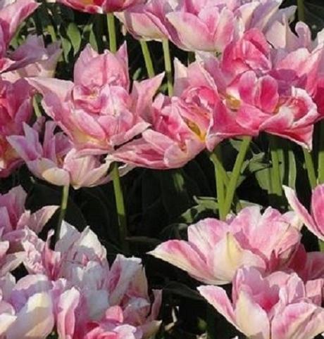 Peach Blossom Tulip Bulbs