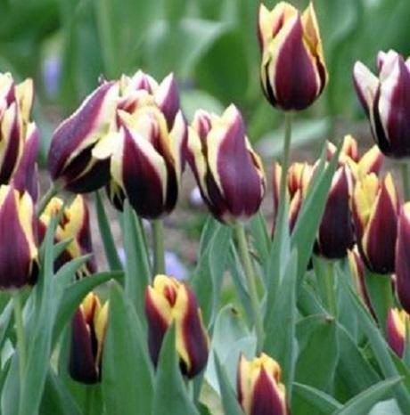 Gavota Tulip Bulbs