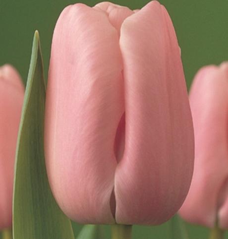 Pink Diamond Tulip Bulbs