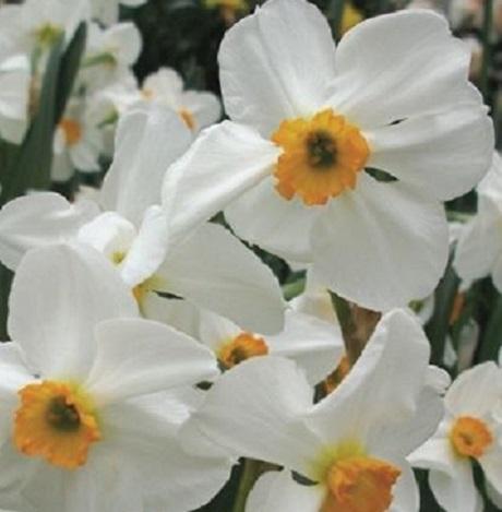 Geranium Narcissi Bulbs