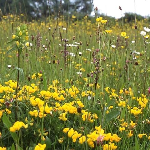 BS3M: Dry, Sandy Loam Soils Wildflower Seeds