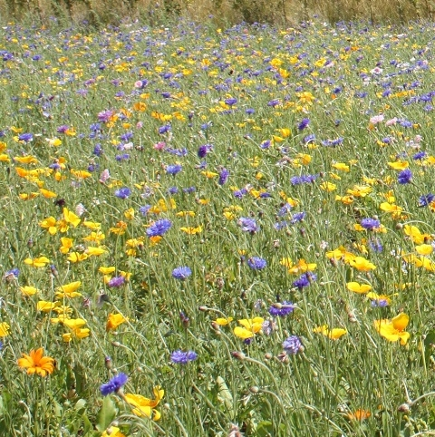 BSAP 100% Annual Summer Bee Wildflower Seed