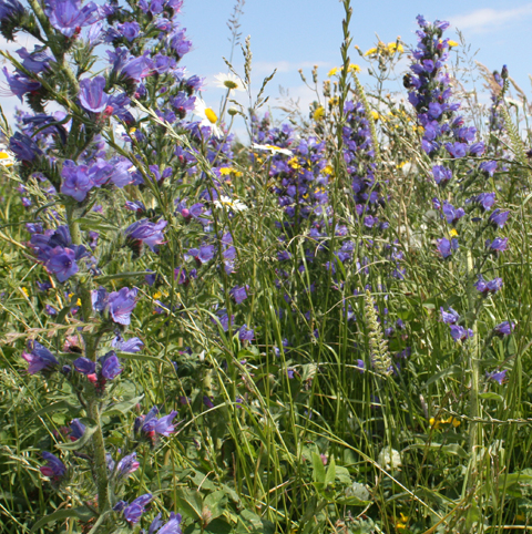 BS10P 100%: Coastal Areas Wildflower Seeds