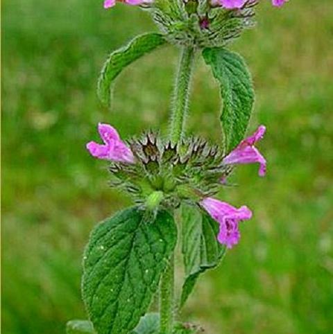 Basil, Wild (Clinopodium vulgare) Plant