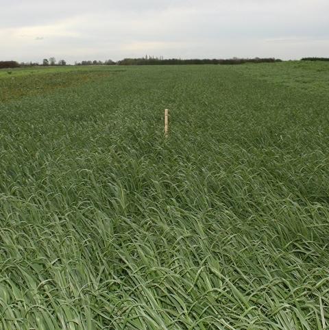 Black Oats Seed (Avena strigosa)