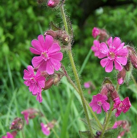 Campion, Red (Silene dioica) Plant