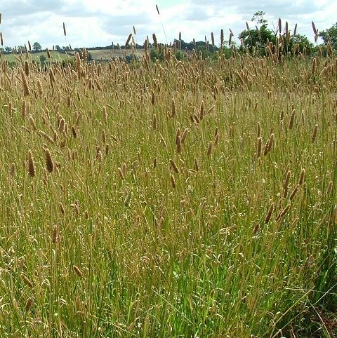 Canary Grass - Aquatica