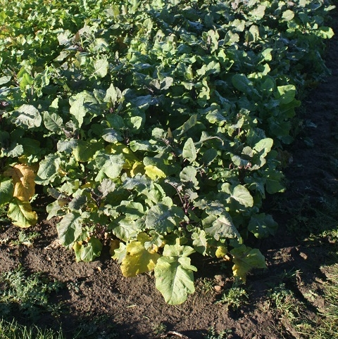Carbon Kale and Mustard Hybrid Seed