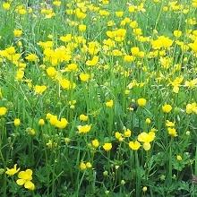 Buttercup, Creeping (Ranunculus repens) Plant