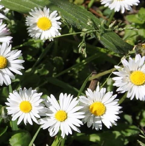 Daisy (Bellis perennis) Plant