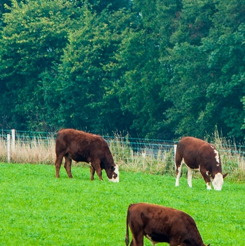 BS Aber High Sugar Grass - Dual Purpose (With Clover) - Long Term Ley 4-5 Years
