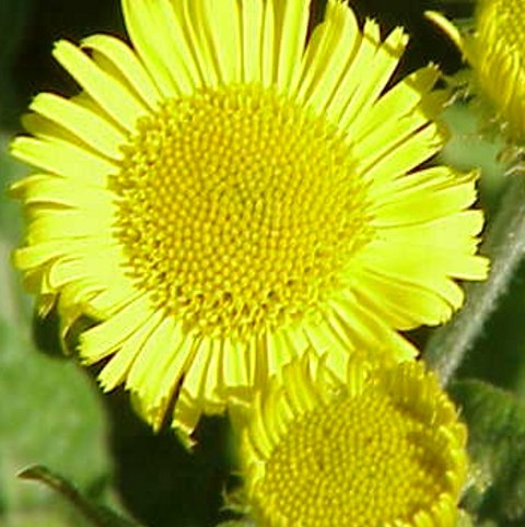 Fleabane, Common (Pulicaria dysenterica) Seeds
