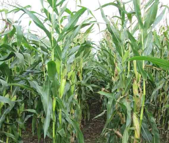 Dualto, Forage Maize