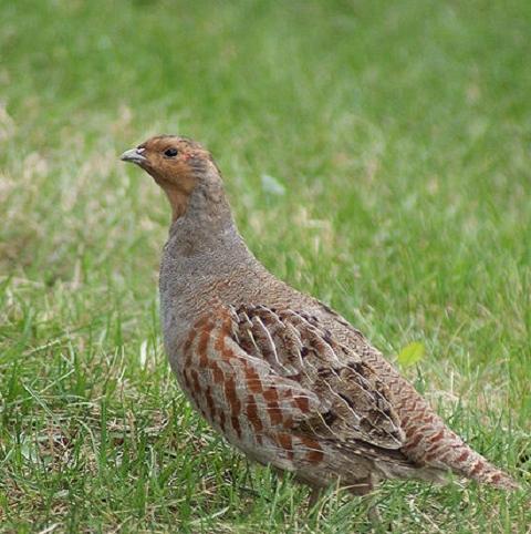 CSS10/GP Wild Bird Mixture - Grey Partridge  (1 or 2 year) AB9