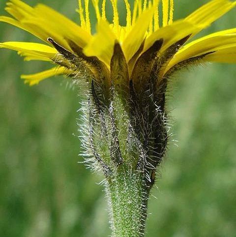 Hawkbit, Rough (Leontodon hispidus) Seeds