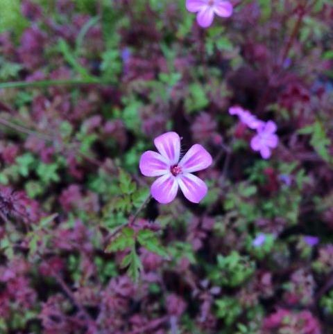 Herb Robert (Geranium robertianum) Plant
