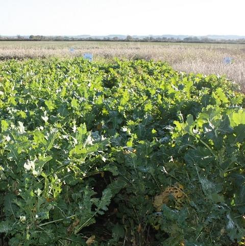 Interval Rape and Kale Hybrid Seed