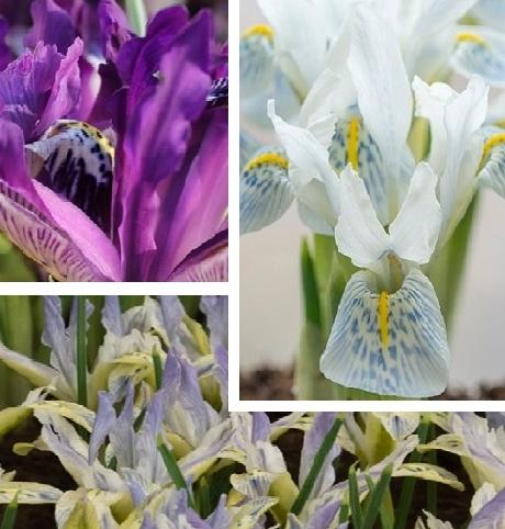 Iris Surprise Bulb Collection