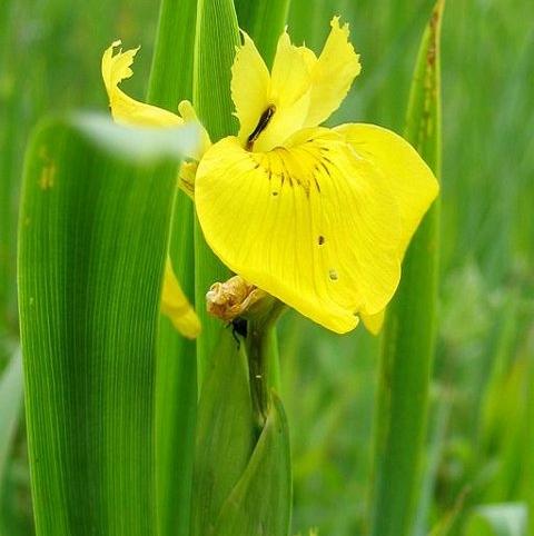 Iris, Yellow-Flag (Iris pseudacorus) Seeds
