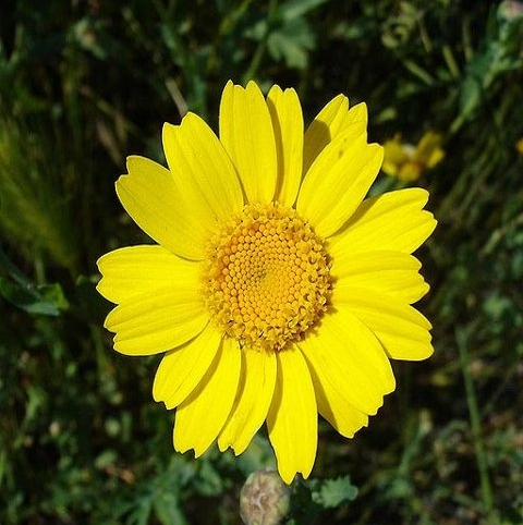 Marigold, Corn (Chrysanthemum segetum) Seeds