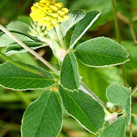 Black Medick (Yellow Trefoil) Seed (Medicago lupulina)