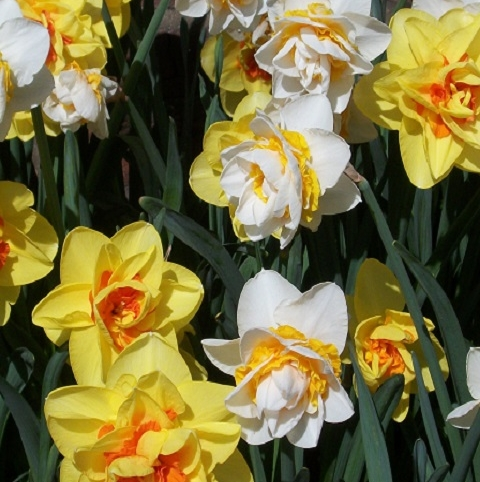 Mixed Double Narcissi