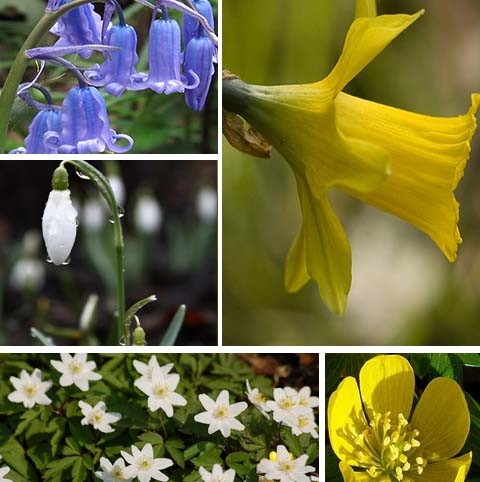 Native Woodland Bulb Collection